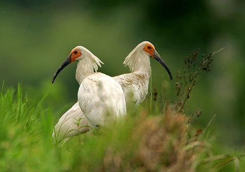 銅川のトキが産卵開始 無事な繁殖を願い様子をモニタリング
