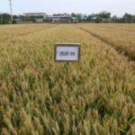 西北農林科技大学の小麦6品種が国の認定を取得