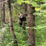 秦嶺山脈主峰・太白山で5年ぶりに野生のパンダを発見