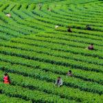 安康市の茶葉輸出が全省の94% 富硒茶は安康で外貨を最も獲得できる農産物