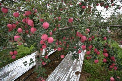 洛川リンゴのEC「開拓者」