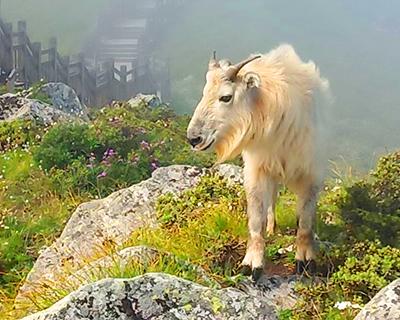 秦嶺山脈の太白山景区で野生のターキンが目撃される