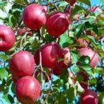 上半期、陝西省の果物のオンライン小売売上高は全国2位 生果は同期比60.70%増