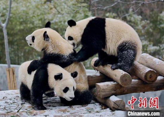 陝西省が秦嶺ジャイアントパンダ科学公園を建設へ 秦嶺パンダのIPを創出